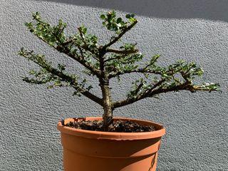 Bonsai Cotoneaster Horitzontalis
