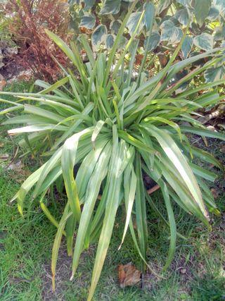 planta cintas grande en macetero barro
