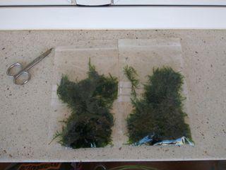Wepping moss