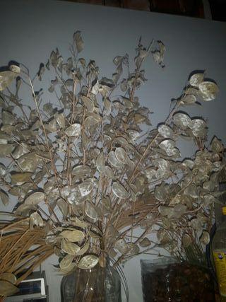 semillas de lunaria annua