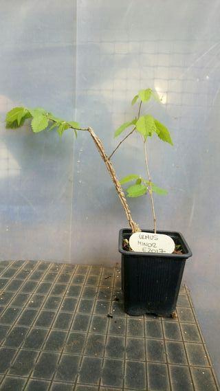 Planton para bonsai de ulmus minor