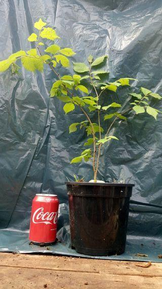planton de semilla ulmus glabra para bonsai