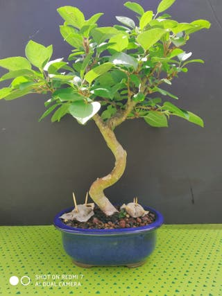 Bonsai manzano everest