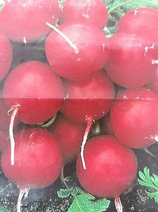 Semilla ecológica Rabanito Rojo