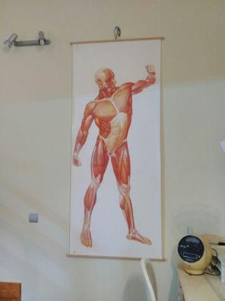 Cartel anatomia