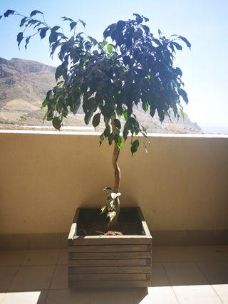 Ficus decorativo con tiesto de madera