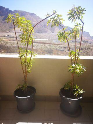2 plantas decorativas