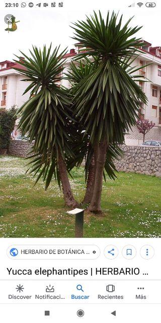 regalo árbol de Yuca