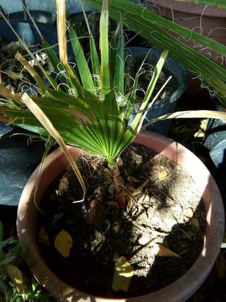 palmeras Washingtonias