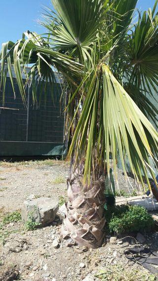 palmera Washingtonia