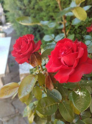 Rosas de Exposición