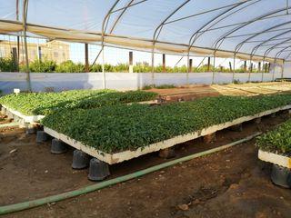 vendo planta de tomate