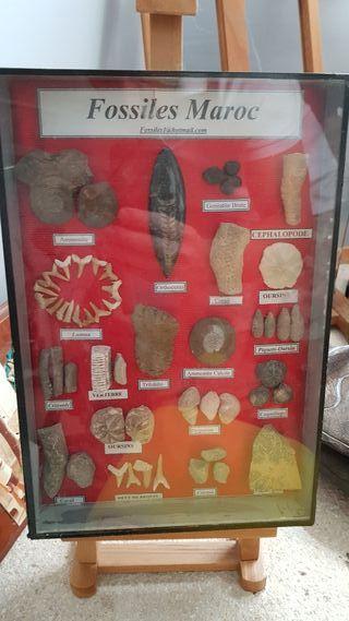 Colección de fósiles