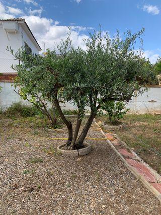 Vendo olivo
