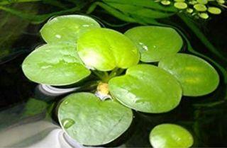 Plantas flotantes para acuario