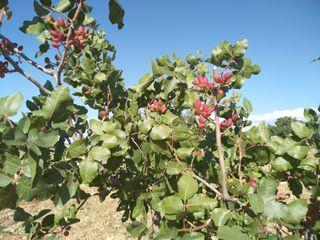 plantación de Pistacheros en producción