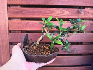 bonsai kurama de acebuche