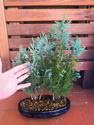 bosque chamaecyparis bonsai