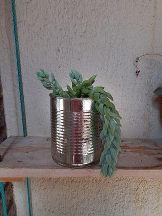 Planta de platanitos