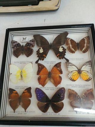 Cuadro con 9 mariposas