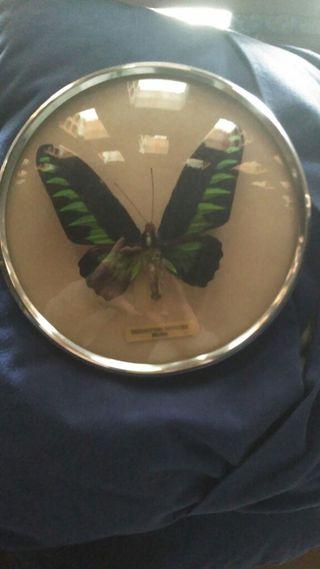 Mariposa disecada.