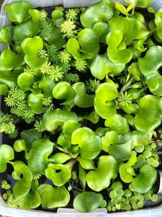 Plantas acuáticas estanques