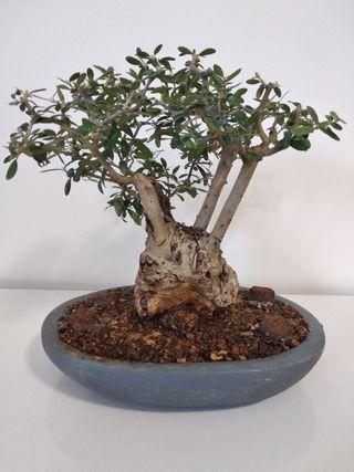 Bonsai olivo silvestre acebuche