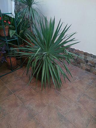 Yucca natural gigante