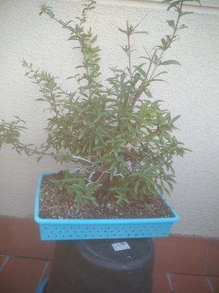 Bonsai granado nejikan de importación japonesa.