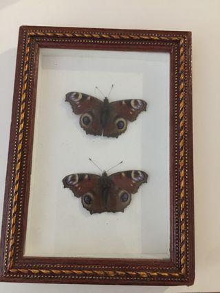 Pareja de mariposas exóticas