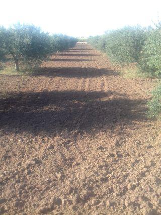 Parcela con olivos de regadío y viñas garnacha