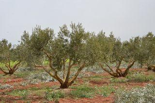 poda de almendros y olivos
