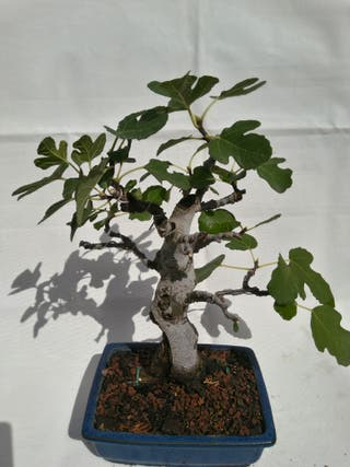 Bonsai Higuera