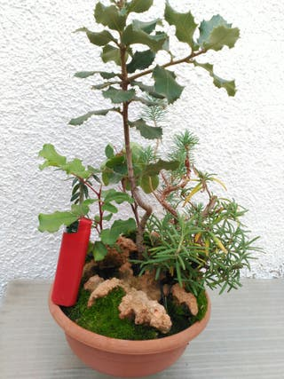 bonsai bonsais bonsáis