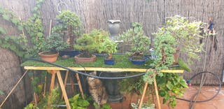 Bonsai coleccion