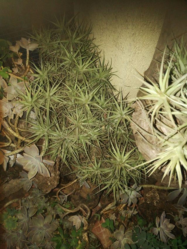 planta clavel de aire