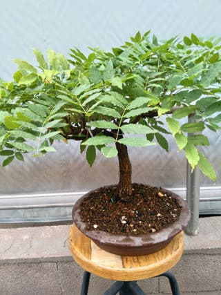 Bonsai Glicinia