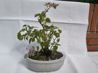 Bonsai Rosal mini