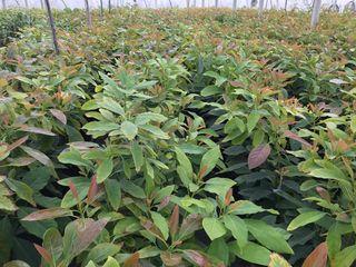 Plantas de aguacate variedad Hass. Ecoforce