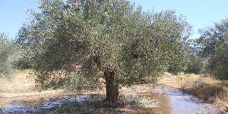 Oliveras ornamentales y lo que produc.ecologico