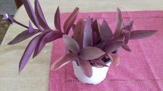 planta lila