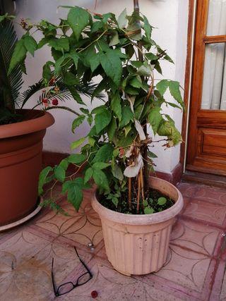 Planta Frambuesa/Gers ecologica