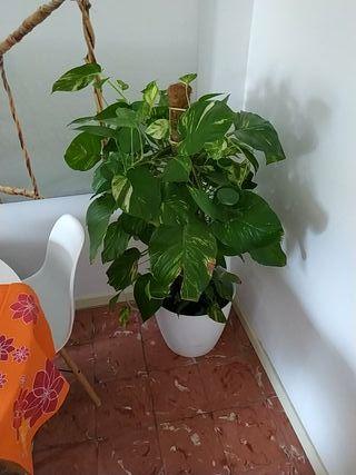 Planta de interior grande.