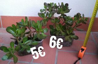 Árbol de Jade ecológico