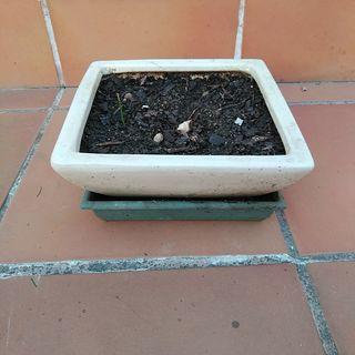 Maceta cerámica blanca para bonsai.