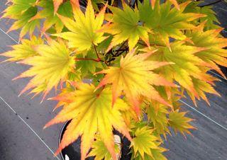 Acer shirasawanum Aureum y Jordan