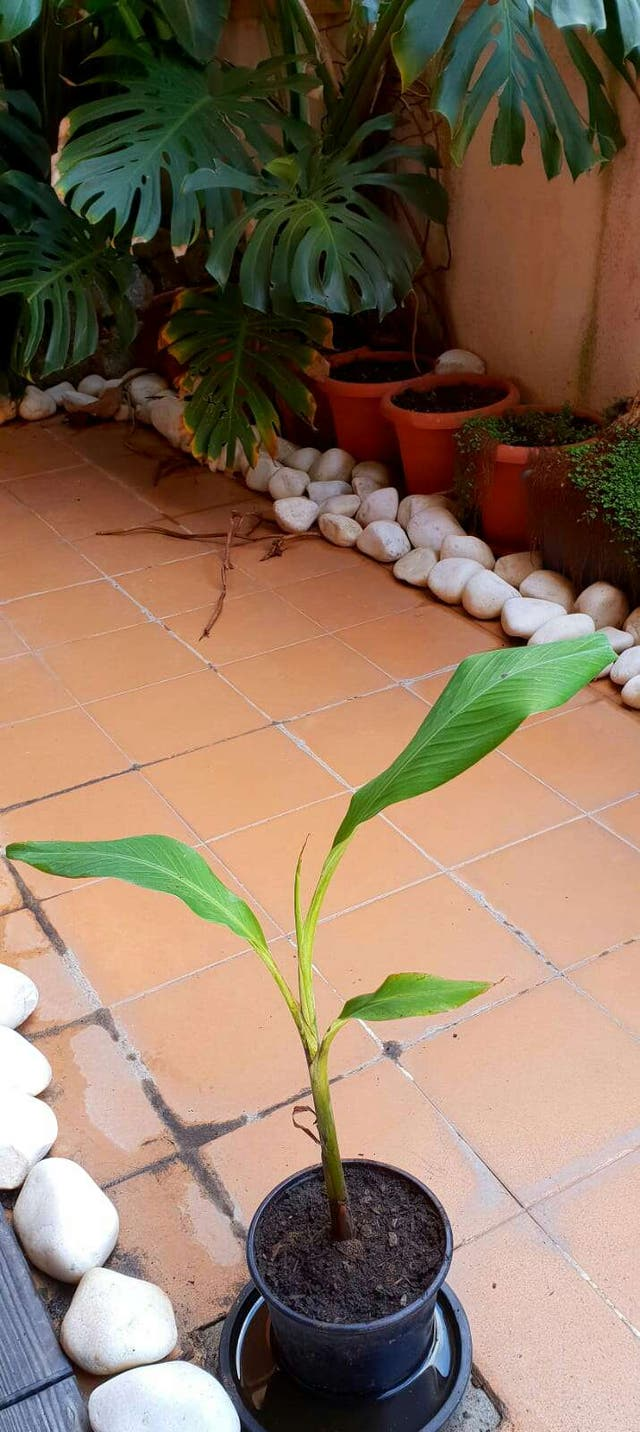 Platanera Bananera ( Más plantas en mi perfil