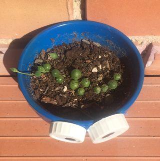 Senecio rowleyanus/Rosario/Cactus/Suculentas