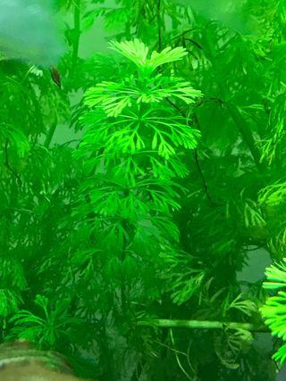 Plantas acuario, Ambulia