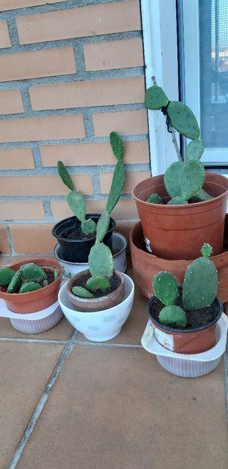 Lote de cactus chumbera
